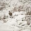 Sandhill Crane, Yellowstone NP