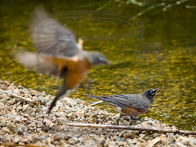 young (US) robins tanking up at the pond