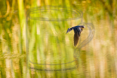 Swallow, skimming over D.Dell pond.