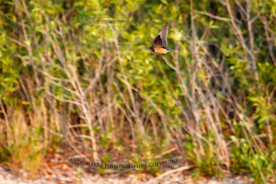 It's easier panning on diving swallow with the 70-200/f4 than it is with the 420/f4 (300/2.8 w 1.4TC)