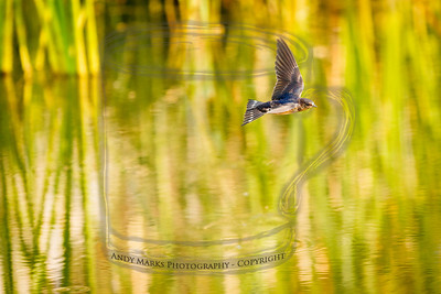 Swallow, pulling up over the D.Dell Pk pond.