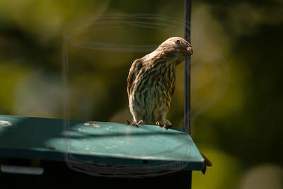 A spectator, not a hummer.