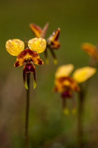 Leopard Orchids