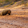 Echidna crossing the road in front of us