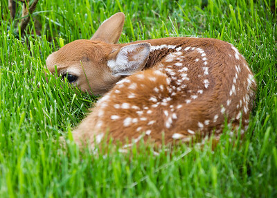 2013-06-08 Front Yard Fawn