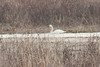 March 23, 2013 (Riverlands Migratory Bird Sanctuary [near Heron Pond] / West Alton, Saint Charles County, Missouri) -- Trumpeter Swan