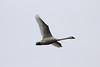January 13, 2013 (Riverlands Migratory Bird Sanctuary [over Teal Pond] / West Alton, Saint Charles County, Missouri) -- Trumpeter Swan