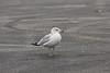 January 12, 2013 (Lincoln Shields Recreation Area [parking lot] / West Alton, Saint Charles County, Missouri) -- Ring-billed Gull