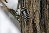 March 24, 2013 ([near feeders over deck above Grand Glaize Creek] / Manchester, Saint Louis County, Missouri) -- Male Downy Woodpecker
