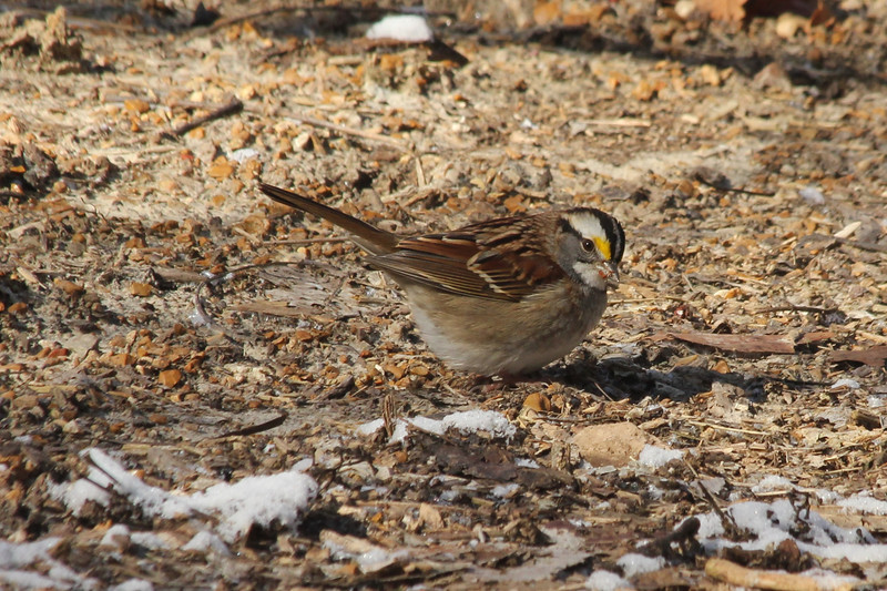 February 1, 2013 (Parkway Central High School [on wooded trail] / Chesterfield, Saint Louis County, Missouri) -- White-throated Sparrow