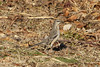 January 18, 2013 (Simpson Lake County Park [boat ramp parking lot] / Valley Park, Saint Louis County, Missouri) -- Northern Mockingbird