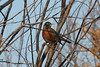January 7, 2013 (Parkway Central High School [under radio tower] / Chesterfield, Saint Louis County, Missouri) -- American Robin