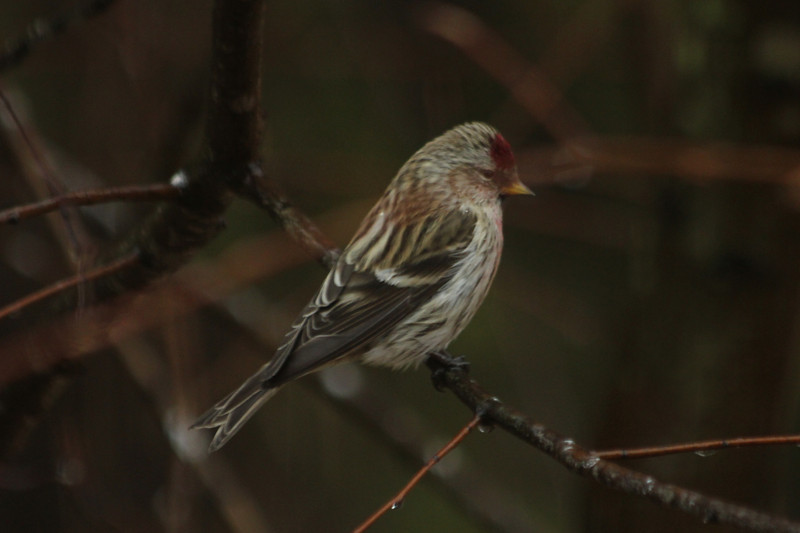January 27, 2013 (Pembroke Subdivision [Connie's home] / Ferguson, Saint Louis County, Missouri) -- Common Redpoll
