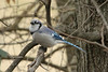 February 9, 2013 ([near feeders over deck above Grand Glaize Creek] / Manchester, Saint Louis County, Missouri) -- Blue Jay