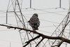 March 19, 2013 (Riverlands Migratory Bird Sanctuary [Confluence Road] / West Alton, Saint Charles County, Missouri) -- Male Northern Harrier