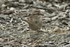 January 13, 2013 (Riverlands Migratory Bird Sanctuary [visitor center] / West Alton, Saint Charles County, Missouri) -- American Tree Sparrow