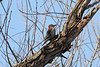 January 3, 2013 (Parkway Central High School [under radio tower] / Chesterfield, Saint Louis County, Missouri) -- Red-bellied Woodpecker