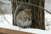 January 31, 2013 ([backyard deck over Grand Glaize Creek] / Manchester, Saint Louis County, Missouri) -- Squirrel eating Mary Anne's Tulip bulb