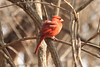 March 28, 2013 (Parkway Central High School [near wooded trail] / Chesterfield, Saint Louis County, Missouri) -- Northern Cardinal