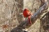 February 2, 2013 (Forest 44 Conservation Area [over creek] / Fenton, Saint Louis County, Missouri) -- Northern Cardinal