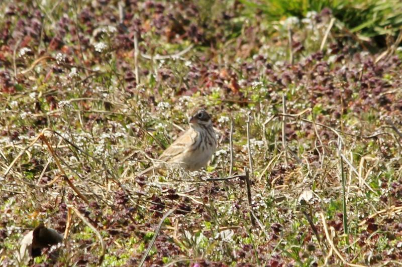 March 31, 2013 (Columbia Bottom Conservation Area [farm field near gravel road] / Saint Louis County, Missouri) -- Vesper Sparrow