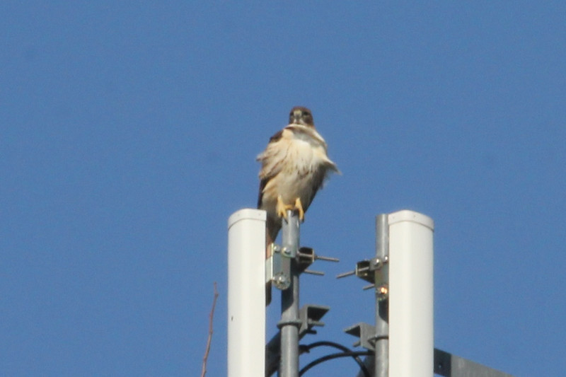 January 7, 2013 (Parkway Central High School [on radio tower] / Chesterfield, Saint Louis County, Missouri) -- Red-tailed Hawk