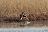 March 9, 2013 (Clarence Cannon National Wildlife Refuge [flooded field] / Annada, Pike County, Missouri) -- Male Mallards