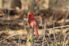 January 11, 2013 (Parkway Central High School [wooded trail] / Chesterfield, Saint Louis County, Missouri) -- Northern Cardinal