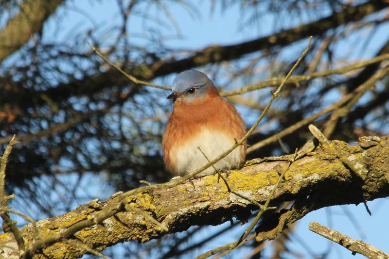 January 14, 2013 (Faust County Park [near Music School] / Chesterfield, Saint Louis County, Missouri) -- Eastern Bluebird