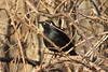 March 12, 2013 (Parkway Central High School [near wooded trail] / Chesterfield, Saint Louis County, Missouri) -- Rusty Blackbird