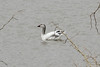 March 17, 2013 (University of Missouri, [Bradford Farm near duck pond] / Columbia, Boone County, Missouri) -- Snow Goose