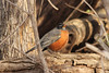 January 9, 2013 (Parkway Central High School [wooded trail] / Chesterfield, Saint Louis County, Missouri) -- American Robin