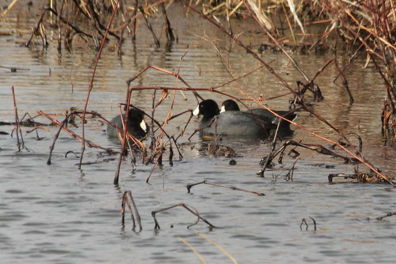March 9, 2013 (Clarence Cannon National Wildlife Refuge [flooded field] / Annada, Pike County, Missouri) -- American Coots