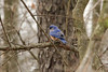 March 30, 2013 (Simpson Lake County Park [near bicycle trail] / Valley Park, Saint Louis County, Missouri) -- Eastern Bluebird