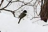 March 26, 2013 (Parkway Central High School [near wooded trail] / Chesterfield, Saint Louis County, Missouri) -- Eastern Phoebe