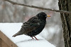 January 31, 2013 ([backyard deck over Grand Glaize Creek] / Manchester, Saint Louis County, Missouri) -- European Starling
