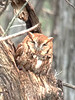 February 13, 2013 (Pembroke Subdivision [Connie's home] / Ferguson, Saint Louis County, Missouri) -- Eastern Screech Owl