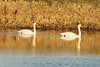 January 6, 2013 (Elsberry [Sewage Treatment Ponds] / Elsberry, Lincoln County, Missouri) -- Mute Swans