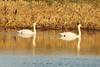 January 6, 2013 (Elsberry [Sewage Treatment Ponds] / Elsberry, Lincoln County, Missouri) -- Mute Swans