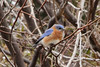 March 2, 2013 (Faust County Park [near Music School] / Chesterfield, Saint Louis County, Missouri) -- Eastern Bluebird