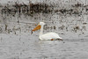 March 17, 2013 (Eagle Bluffs Conservation Area / Columbia, Boone County, Missouri) -- American White Pelican