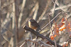 January 16, 2013 (Parkway Central High School [wooded trail] / Chesterfield, Saint Louis County, Missouri) -- Carolina Wren
