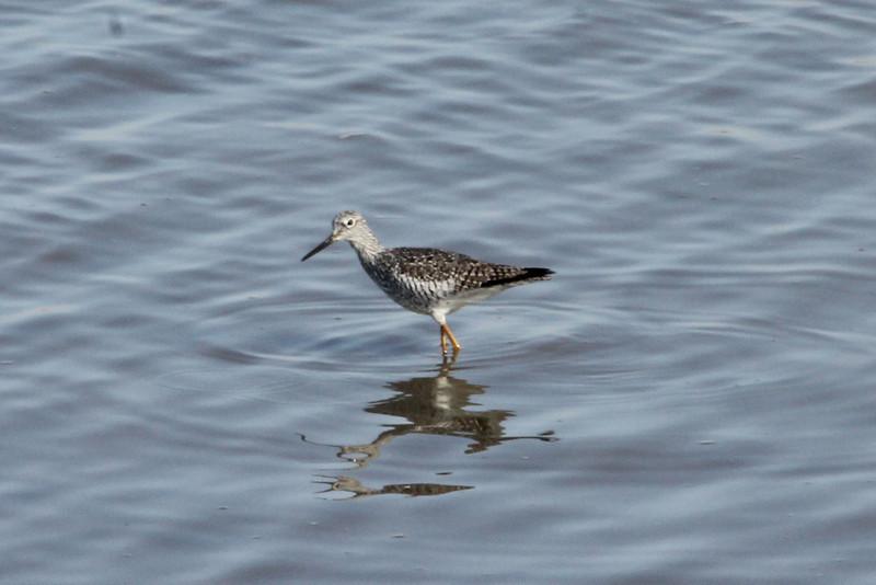 March 27, 2013 (Riverlands Migratory Bird Sanctuary [Ellis Bay] / West Alton, Saint Charles County, Missouri) -- Greater Yellowlegs