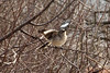 January 28, 2013 (Parkway Central High School [near radio tower] / Chesterfield, Saint Louis County, Missouri) -- Northern Mockingbird
