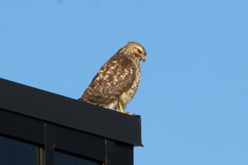 January 4, 2013 (Parkway Central High School [on top of Science Building] / Chesterfield, Saint Louis County, Missouri) -- Red-shouldered Hawk