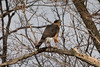 March 2, 2013 (Faust County Park [near Music School] / Chesterfield, Saint Louis County, Missouri) -- Cooper's Hawk
