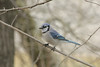 March 11, 2013 ([near feeders over deck above Grand Glaize Creek] / Manchester, Saint Louis County, Missouri) -- Blue Jay