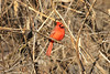January 18, 2013 (Parkway Central High School [wooded trail] / Chesterfield, Saint Louis County, Missouri) -- Northern Cardinal