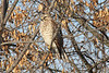 January 3, 2013 (Parkway Central High School [under radio tower] / Chesterfield, Saint Louis County, Missouri) -- Red-shouldered Hawk