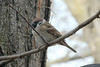 February 9, 2013 ([near feeders over deck above Grand Glaize Creek] / Manchester, Saint Louis County, Missouri) -- Eurasian Tree Sparrow